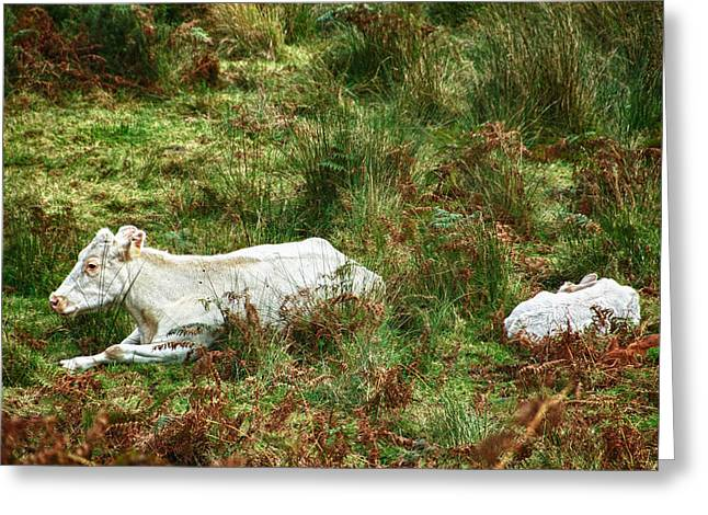 Greeting Card featuring the photograph Glendalough Cattle 2 by Trever Miller