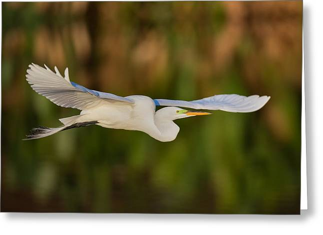 Gliding Great Egret Greeting Card