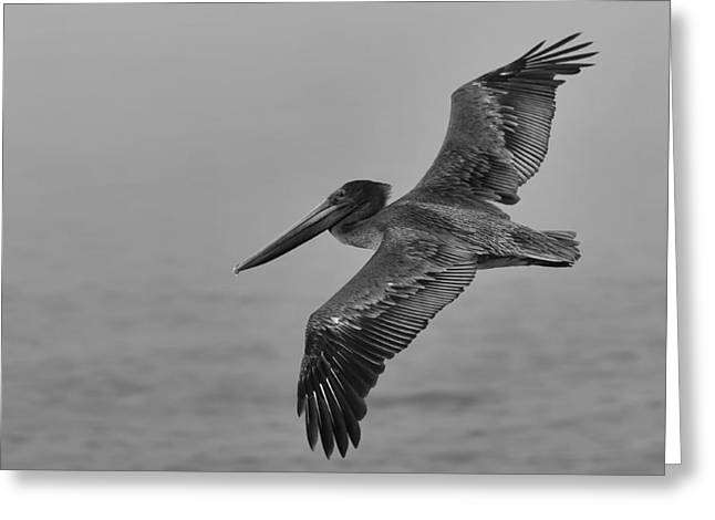 Gliding Pelican In Black And White Greeting Card by Sebastian Musial