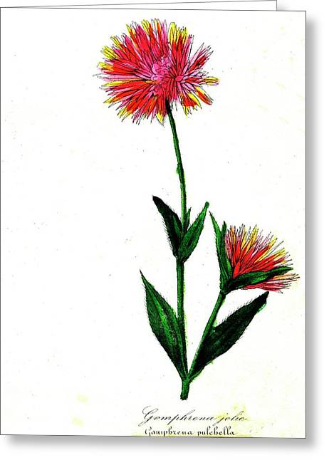 Globe Amaranth Greeting Card by Collection Abecasis/science Photo Library