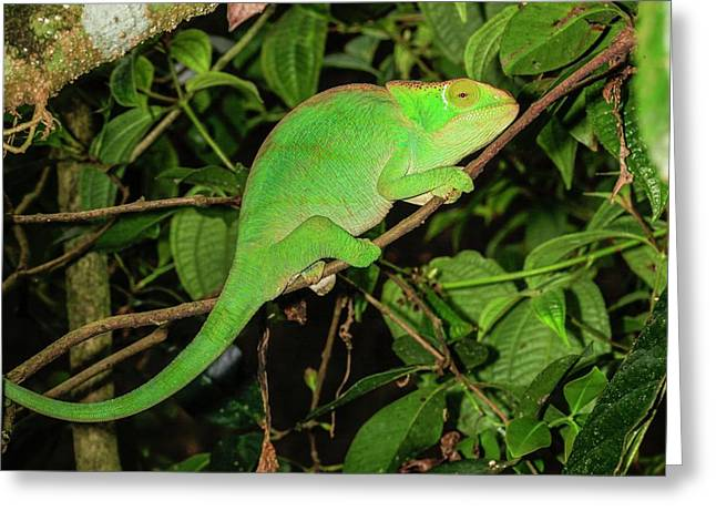 Globe-horned Chameleon Greeting Card by Photostock-israel