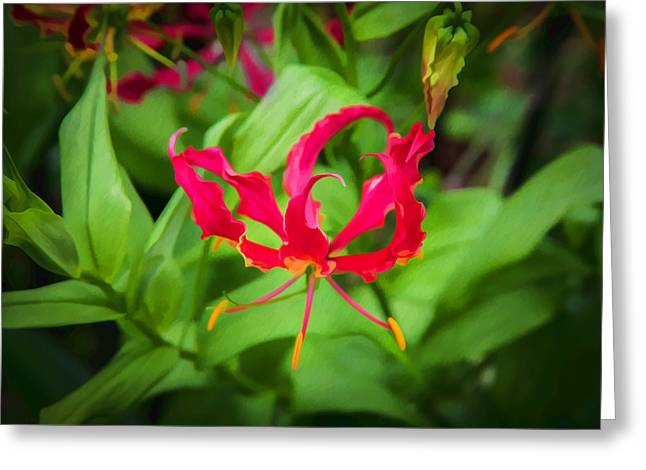 Gloriosa Lily Flame Lily Fire Lily  Greeting Card