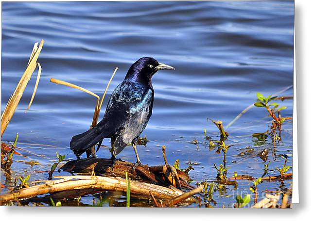 Glorious Grackle Greeting Card by Al Powell Photography USA