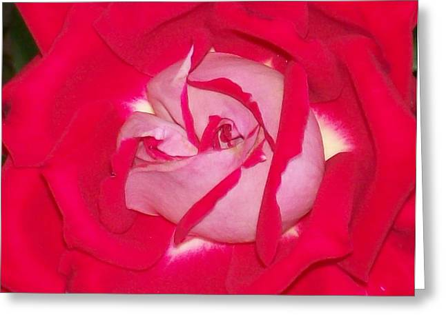 Greeting Card featuring the photograph Glorious Red Rose by Belinda Lee