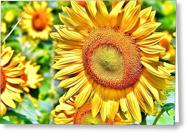 Glorious Sunflowers Greeting Card