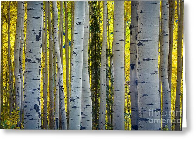 Glowing Aspens Greeting Card by Inge Johnsson