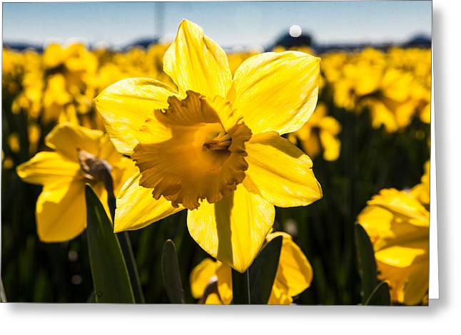 Glowing Daffodil Greeting Card