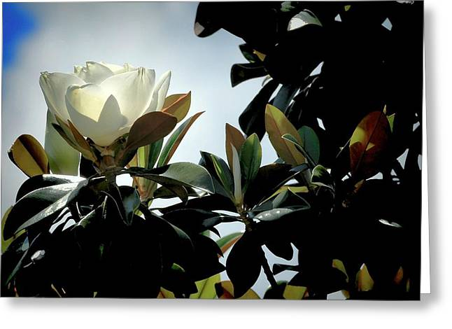 Glowing Magnolia Greeting Card
