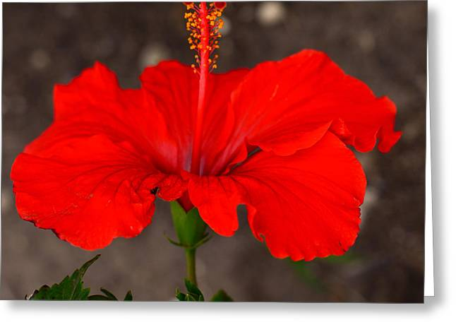Glowing Red Hibiscus Greeting Card