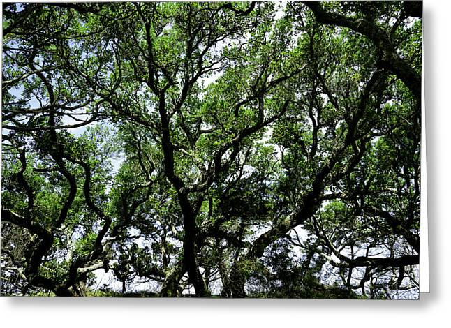 Gnarled Live Oaks Greeting Card