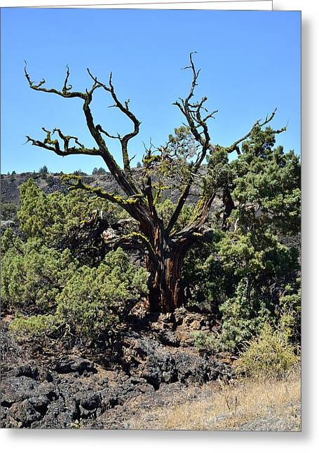 Gnarled Tree On The Lava Beds - Portrait Greeting Card by Rich Rauenzahn