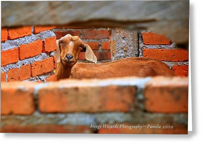 Goat In A Box Greeting Card by ARTography by Pamela Smale Williams