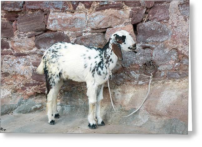 Goat, Jodhpur, Rajasthan, India Greeting Card by Inger Hogstrom