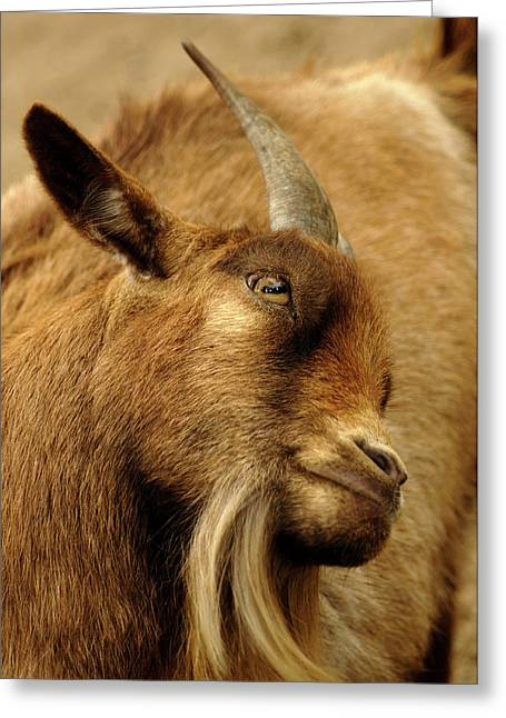 Goat Greeting Card by Maria Mosolova/science Photo Library