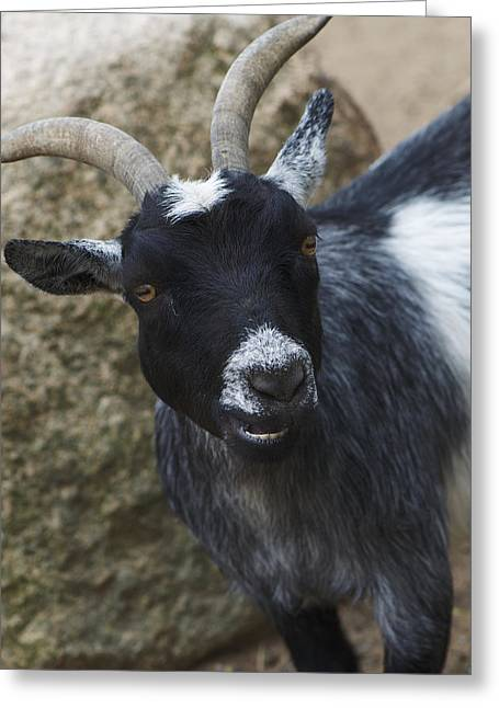Goat Smile Greeting Card by Julie Smith