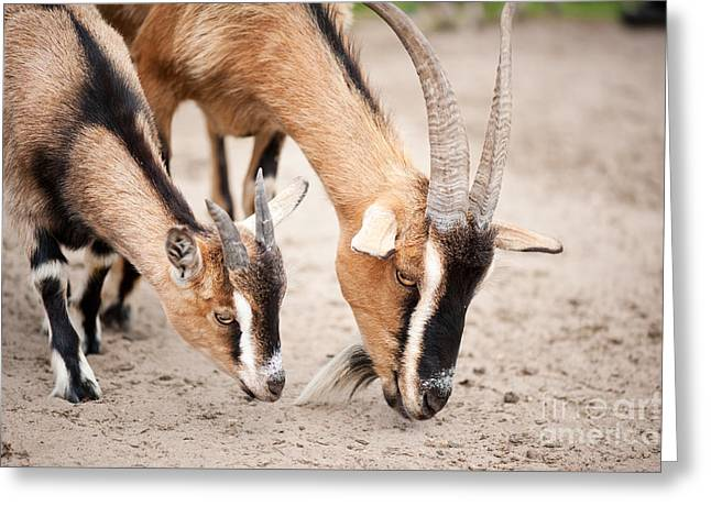 Brown Domesticated Goats Eating From Sand  Greeting Card