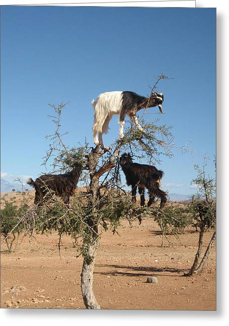 Goats In A Tree Greeting Card