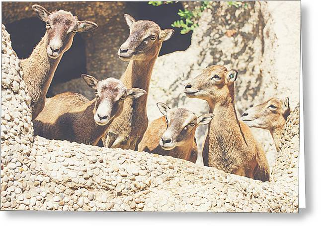 Goats On A Rock Greeting Card