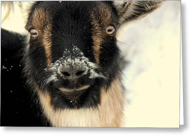Goatstache Greeting Card by Kathy Bassett
