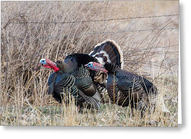 Gobbling Turkeys Greeting Card