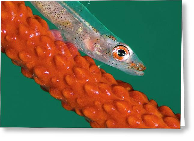 Goby On Its Whip Coral Host Greeting Card by Scubazoo