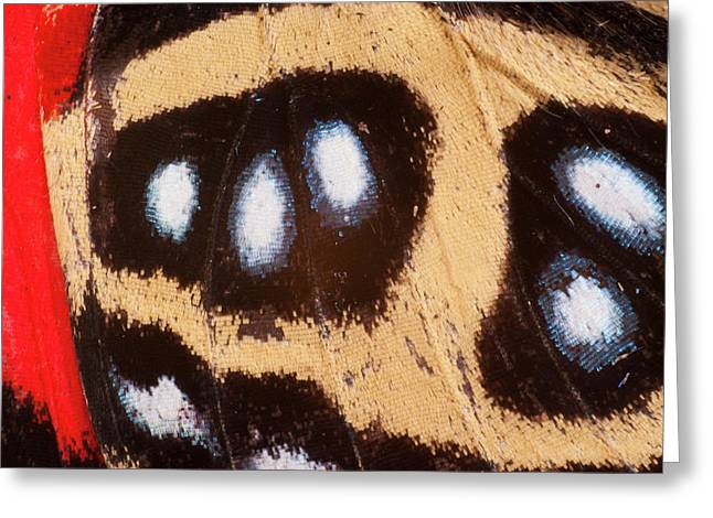 Godart's Numberwing Butterfly Wing Greeting Card by Pete Oxford