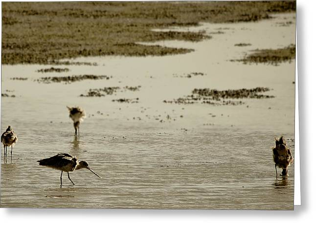 Godwit Days Greeting Card
