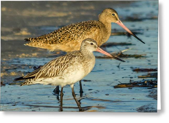 Godwits Greeting Card