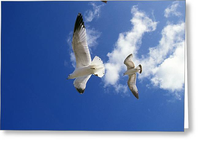 Goeland A Bec Cercle Larus Delawerensis Greeting Card by Gerard Lacz