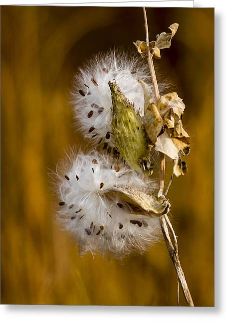 Going To Seed Greeting Card