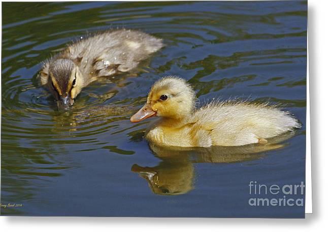 Gold And Brown Mallard Ducklings Greeting Card by Kenny Bosak