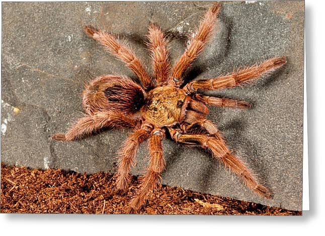 Gold Burst Tarantula, Paraphysa Parvula Greeting Card
