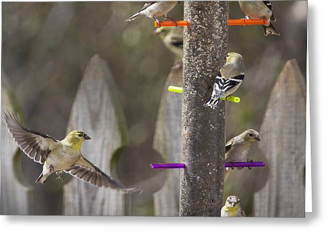Gold Finch Cleared For Landing Greeting Card by Cris Hayes