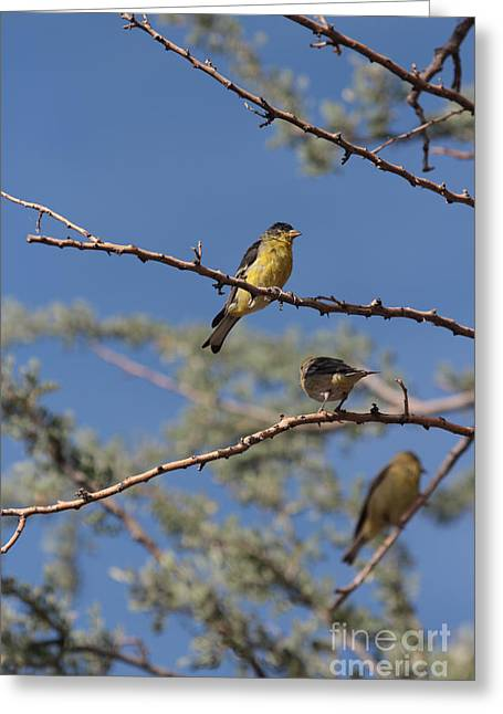 Gold Finches I Have Your Back Greeting Card