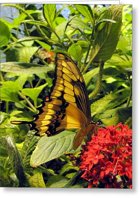 Gold Giant Swallowtail Greeting Card
