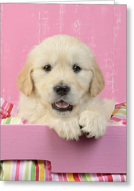 Gold Retriever Pink Background Greeting Card by Greg Cuddiford
