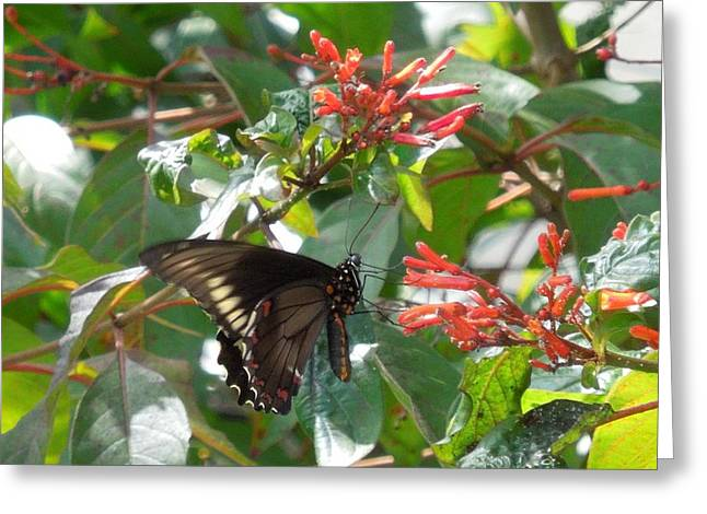 Greeting Card featuring the photograph Gold Rim Swallowtail by Ron Davidson