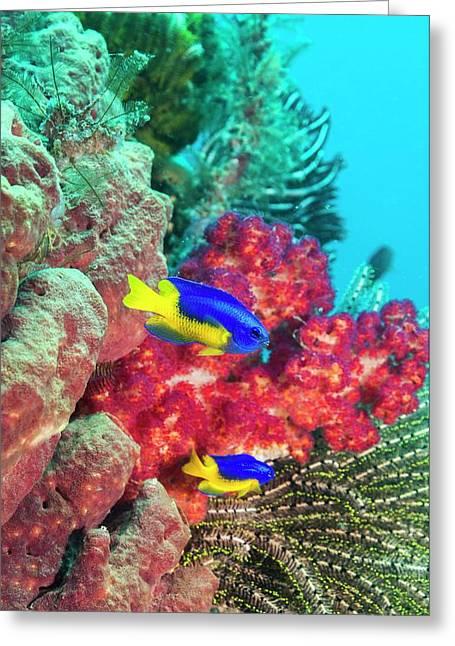 Goldbelly Damselfish On A Reef Greeting Card by Georgette Douwma