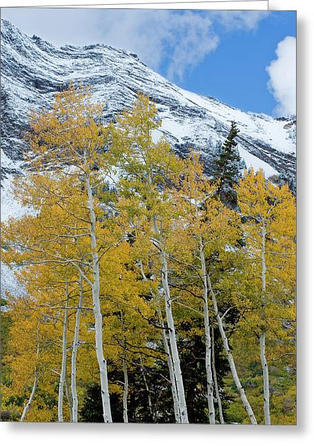 Golden Aspen Trees In Fall Colors Greeting Card by Howie Garber