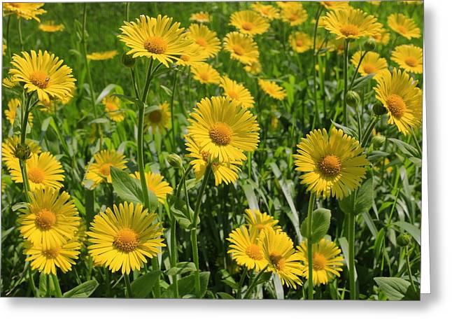 Golden Asters Greeting Card
