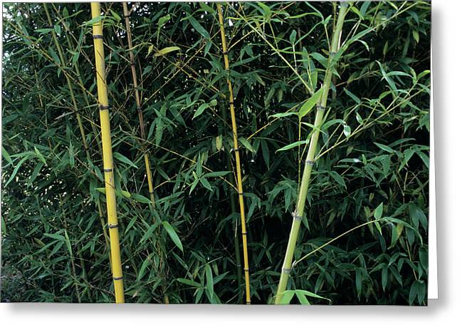 Golden Bamboo (phllostachys Aurea) Greeting Card by Sally Mccrae Kuyper/science Photo Library