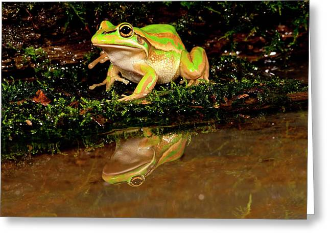 Golden Bell Treefrog, Litoria Aurea Greeting Card