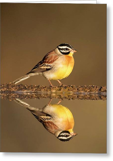 Golden-breasted Bunting With Reflection Greeting Card by Tony Camacho
