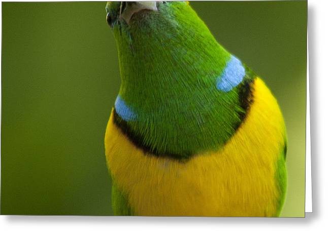 Golden-browed Chlorophonia - Chlorophonia Callophrys Greeting Card by Heiko Koehrer-Wagner