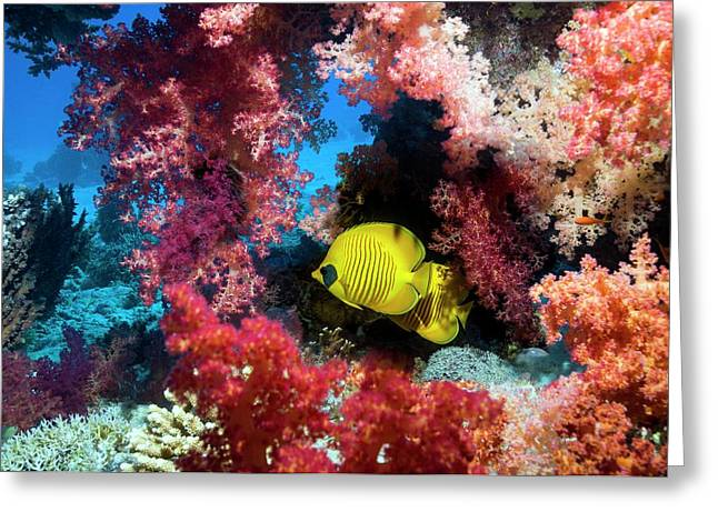 Golden Butterflyfish And Soft Coral Greeting Card by Georgette Douwma