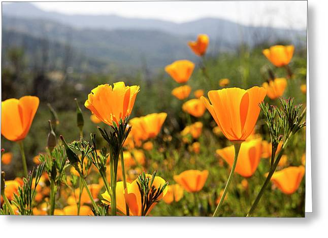 Golden California Poppies Greeting Card by Tom Norring