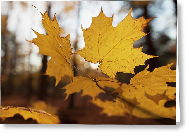 Golden Coloured Maple Leaves In Autumn Greeting Card by Ron Bouwhuis
