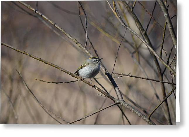 Golden-crowned Kinglet Greeting Card by James Petersen