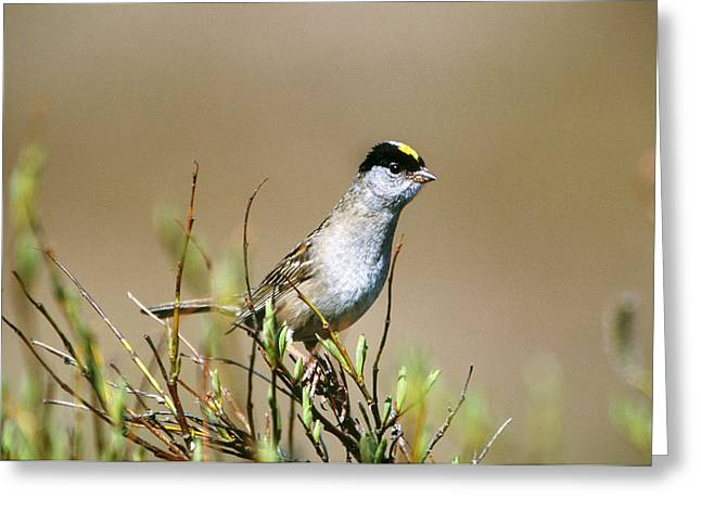 Golden-crowned Sparrow Greeting Card by Paul J. Fusco