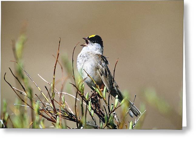 Golden-crowned Sparrow Singing Greeting Card by Paul J. Fusco